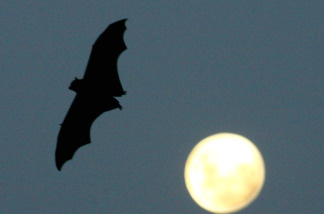 A Grey-Headed Flying Fox flies past a rising full-moon at the Royal Botanic Gardens March 20, 2008 in Sydney, Australia.
