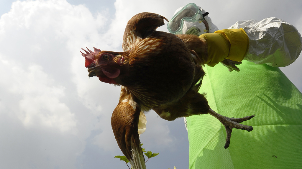 Some scientists think new types of bird flus should arise only in chickens, not the lab. Here a worker collects poultry on a farm in Kathamndu, Nepal, where the H5N1 virus was suspected of infecting animals in October 2011.