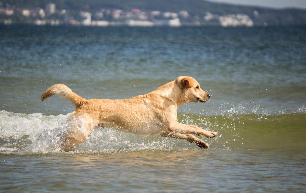 A dog runs into water.