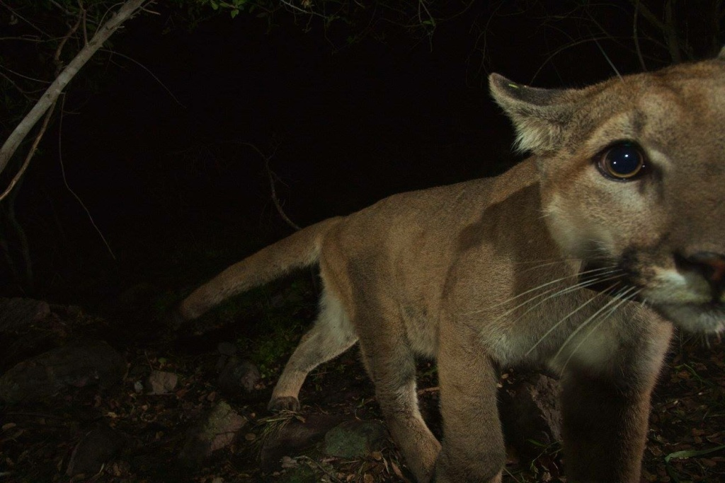Two nearly grown mountain lion kittens and their mother were recently spotted at the western end of the Santa Monica Mountains by remote camera.