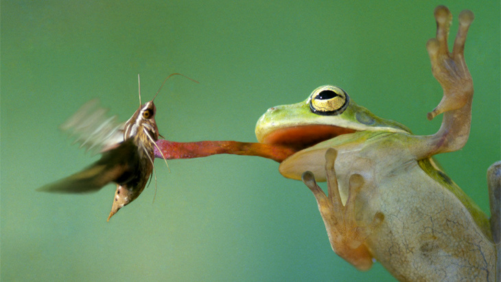 A frog's super-soft tongue gets the job done.