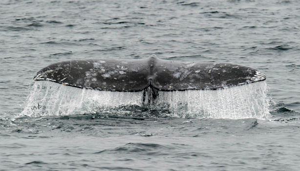 Marine Biologist Patt Krug is in with the tale of a whale.
