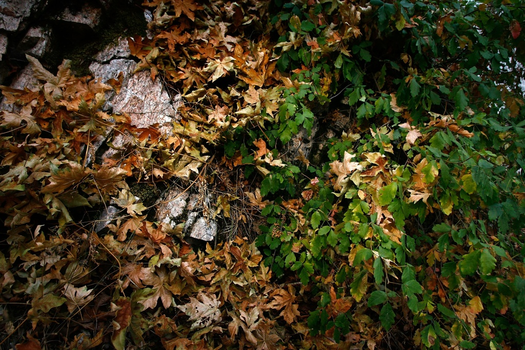 File: Dried leaves fall among green poison oak as fall-like colors appear in summer in southern California's predominantly chaparral habitat on July 19, 2007 west of Mount Wilson in the San Gabriel Mountains, north of Pasadena.