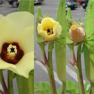 Okra flower slowly begins to close its petals during the eclipse.