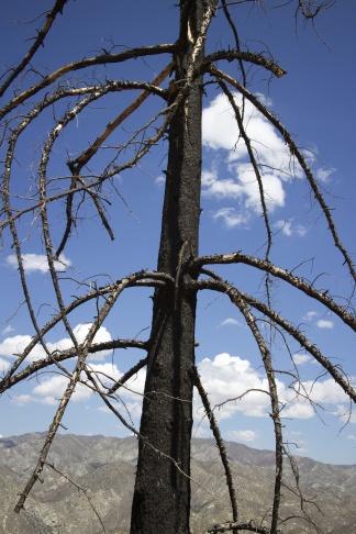 Burned pine tree