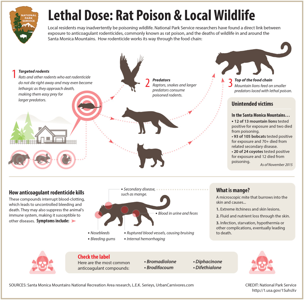 How rat poison moves through the food chain and gets into the system of larger mammals and predators, such as bobcats.