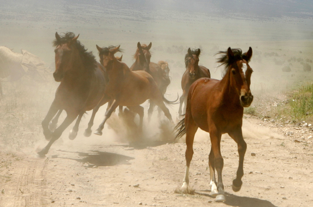 A herd of wild horses galloping.