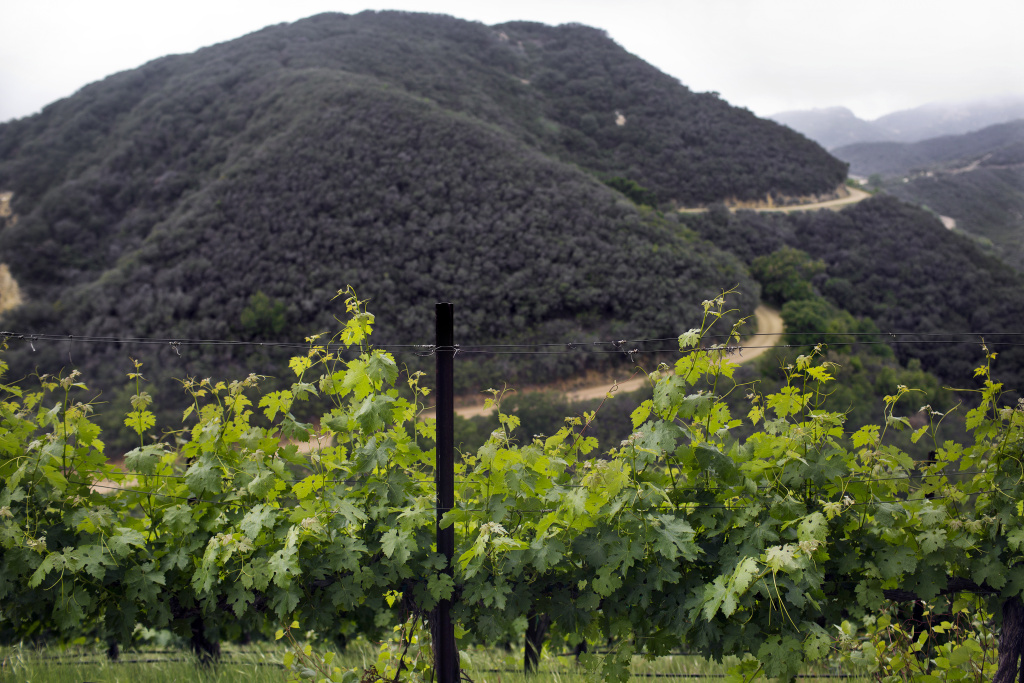 Vines are located on the north and south-facing sides of wine-maker Donald Schmitz's property. Schmitz produces wine under his label, Malibu Solstice.