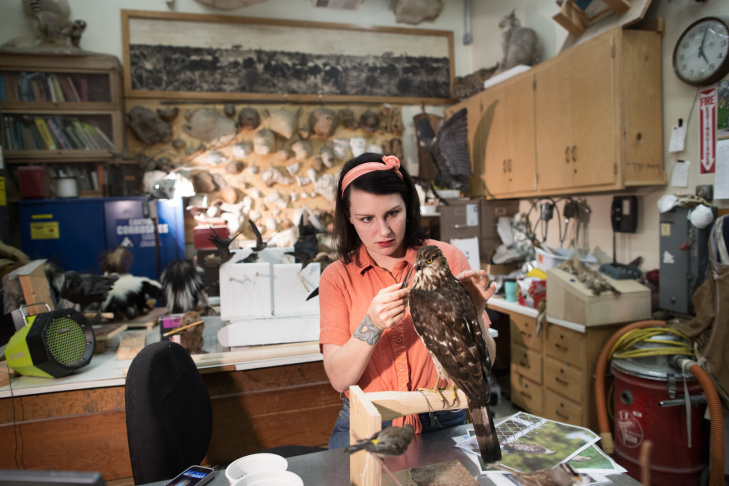 Taxidermist Allis Markham works on a female Cooper's hawk at the Natural History Museum on April 24th, 2013.