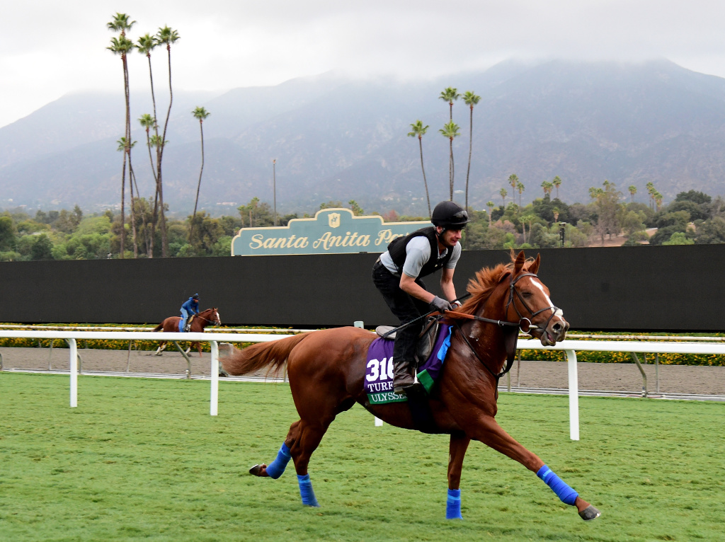 Ulysses during training in the Turf race for the 2016 Breeders' Cup World Championships at Santa Anita Park on November 1, 2016 in Arcadia, California.