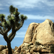 View of a Joshua tree in the 1,234-squar