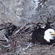 catalina bald eagle nest cam