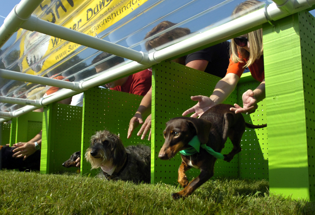 Ninety Dachshund dogs will compete on a race track for the Weinerschnitzel Wiener Nationals title.