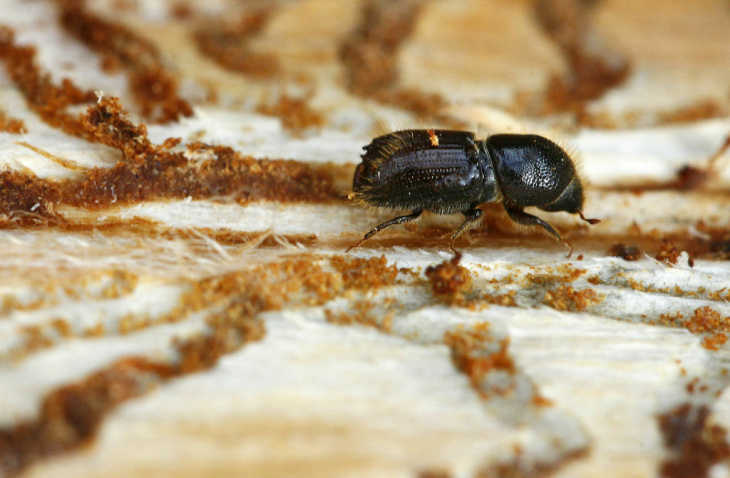 A bark beetle crawls along a tree trunk in the Thuringian Forest near Ziegenrueck, Germany, Monday, July 30, 2007. The excessive heat has not only dried out the trees, it's also provided ideal conditions for tree-damaging pests, such as the bark beetle, to multiply faster. Bark beetles eat their way deep inside the tree's trunk, weakening it from the inside.