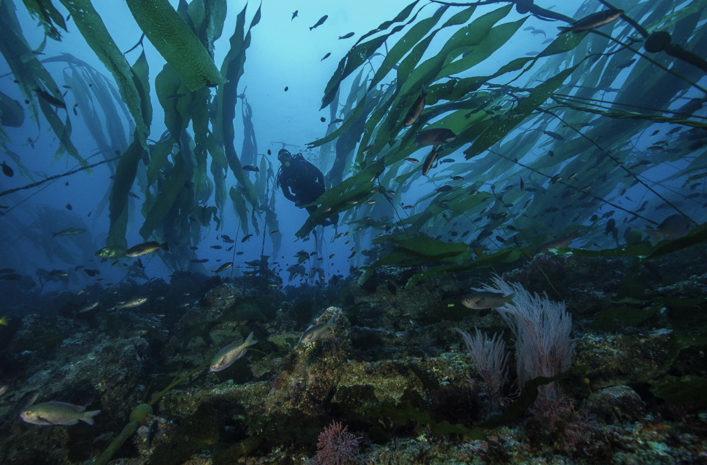 A diver in a kelp forest in California's Channel Island National Park, where several of the state's marine protected areas are located.