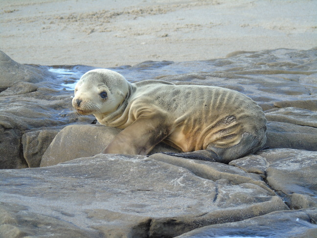 Sea lion pup under normal weight - Feb 2015