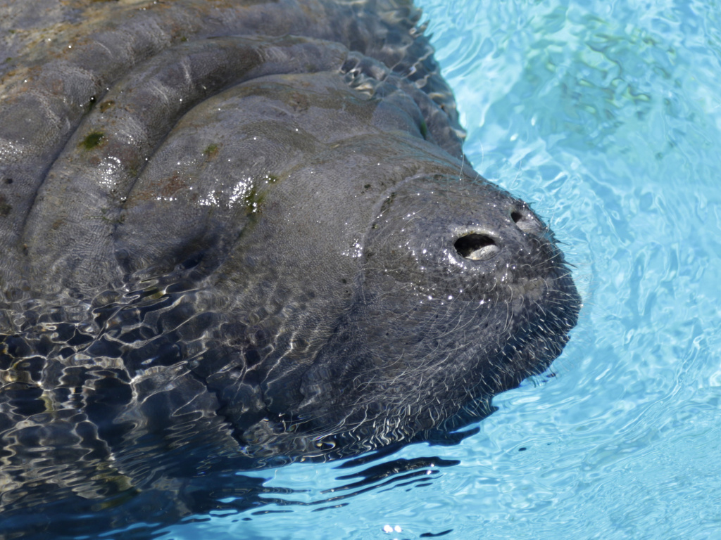 File: In this photo taken Aug. 6, 2014, a manatee comes up for a breath of air at the Miami Seaquarium in Key Biscayne, Fla. It's believed the manatees, in search of warm water after a recent cold snap, swam into a large drainage pipe near Cape Canaveral but were unable to get out.