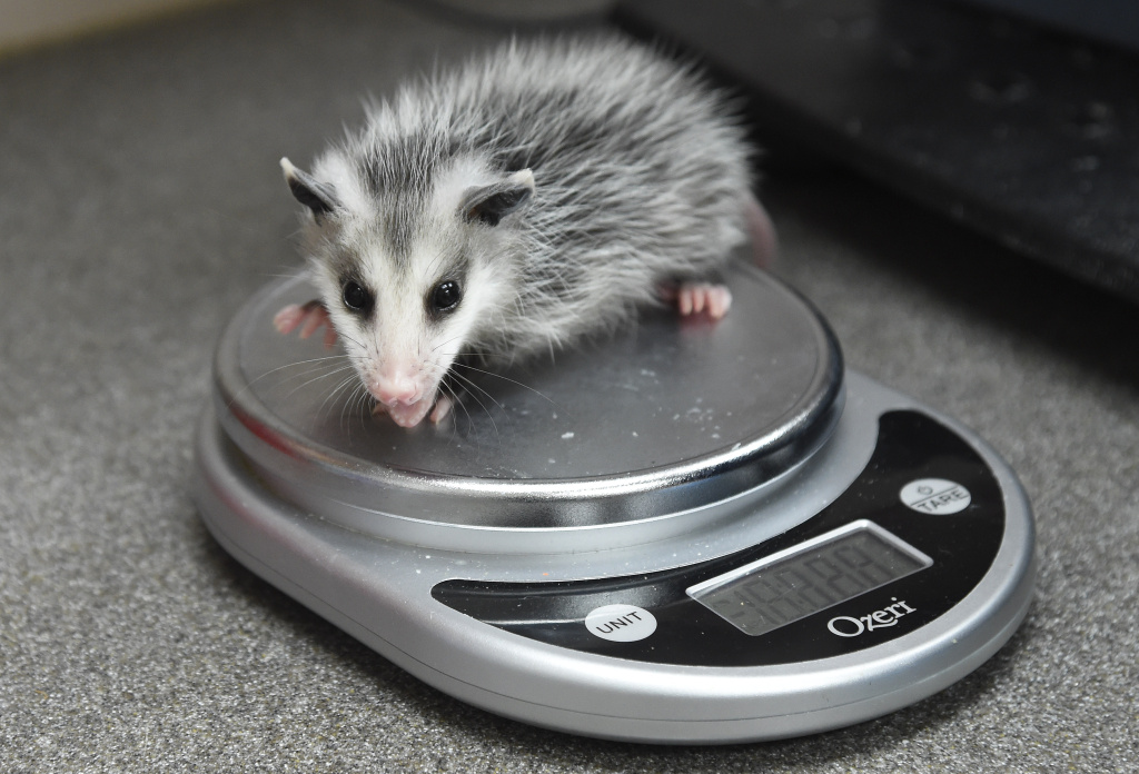 A rescued baby opossum is weighed at the Pelican Harbor Seabird Station in Miami, Florida, May 20 2016.