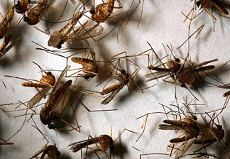 A field sample of mosquitoes that could carry West Nile Virus.