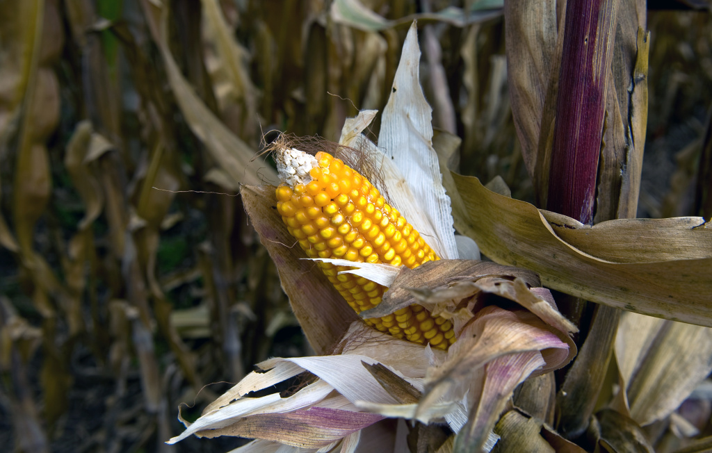 Corn is seen at the Phytogenetic Resources Center of the International Maize and Wheat Improvement Center, in Texcoco, Mexico, on October 28, 2009.