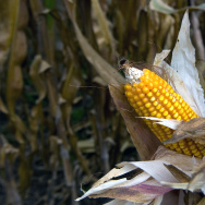 Corn is seen at the Phytogenetic Resourc
