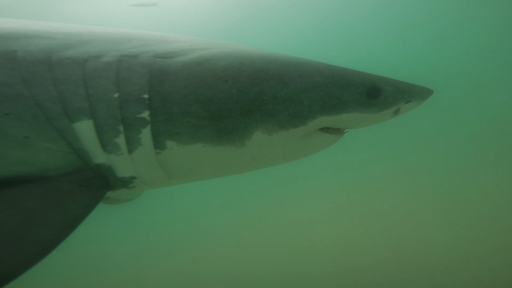 A juvenile great white photographed near ManhattanBeach, Jan. 7, 2015