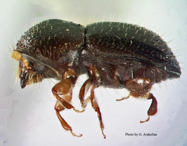 Female polyphagous shot hole borer.
