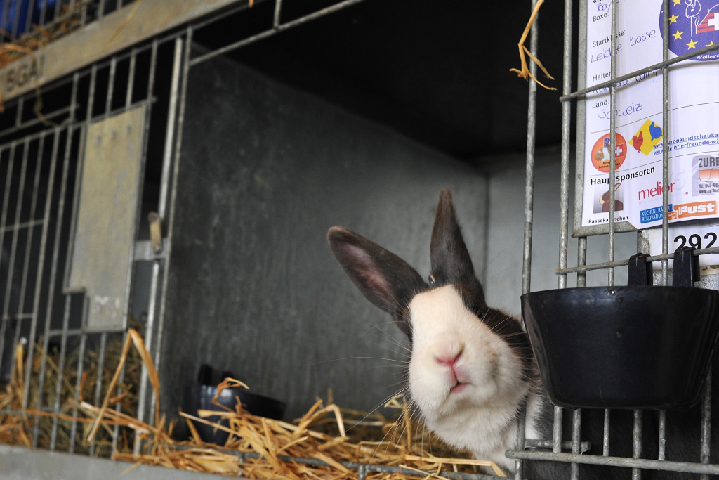 A rabbit looks on during the first European rabbit hopping championships, which Lada Sipova-Krecova of Czech Republic won, on October 30, 2011 in Wollerau, Switzerland.