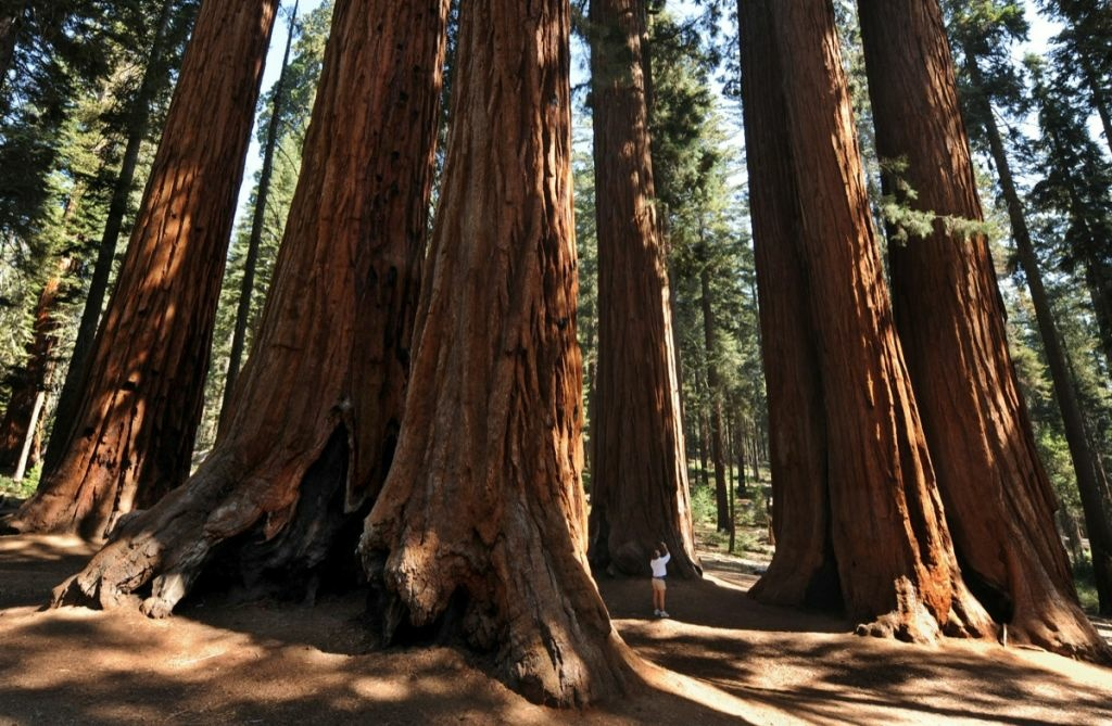 A woman stands amongst a grove of a Giant Sequoia trees in the Sequoia National Park in Central California on October 11, 2009.