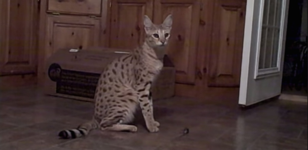 Animal Groups Petition To Restrict Hybrid Half Exotic Cats