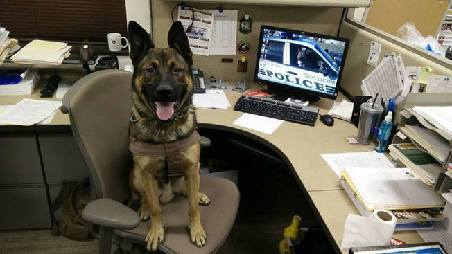San Jacinto Police K-9 Sultan was shot and killed on Wednesday, Jan. 21, 2015, while assisting with the search of what police say was a wanted felon at a residence in Hemet.