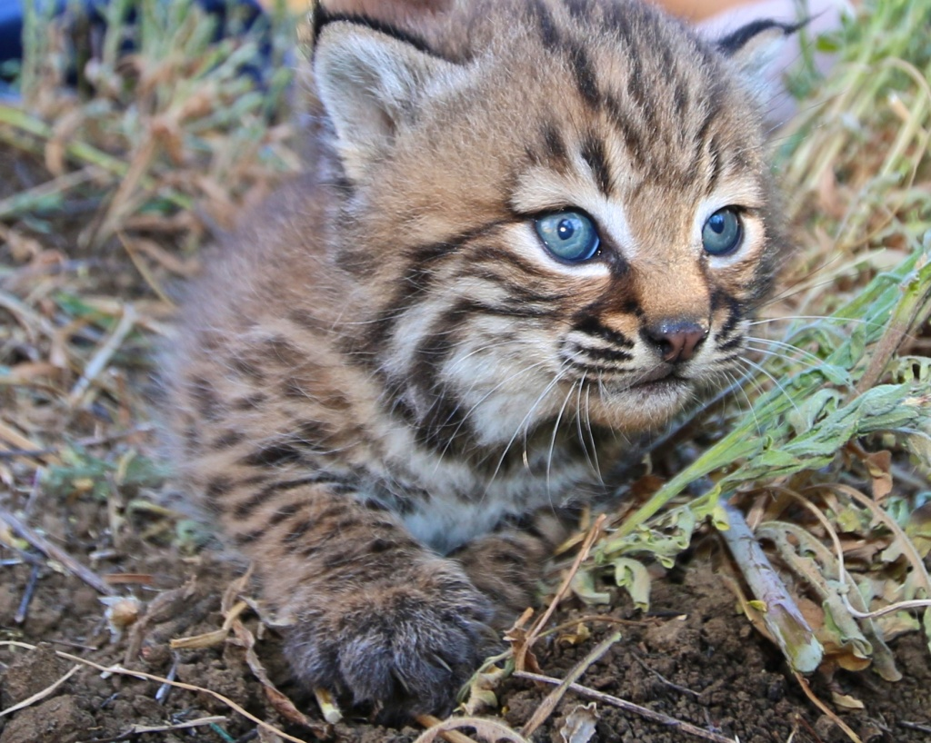 Baby bobcat in the Santa Monica Mountains