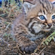 """Our biologists recently ear-tagged these adorable 3-4 week-old kittens as part of our nearly 20-year-long-study of how urbanization has affected bobcats in the Santa Monica Mountains and the surrounding area."""