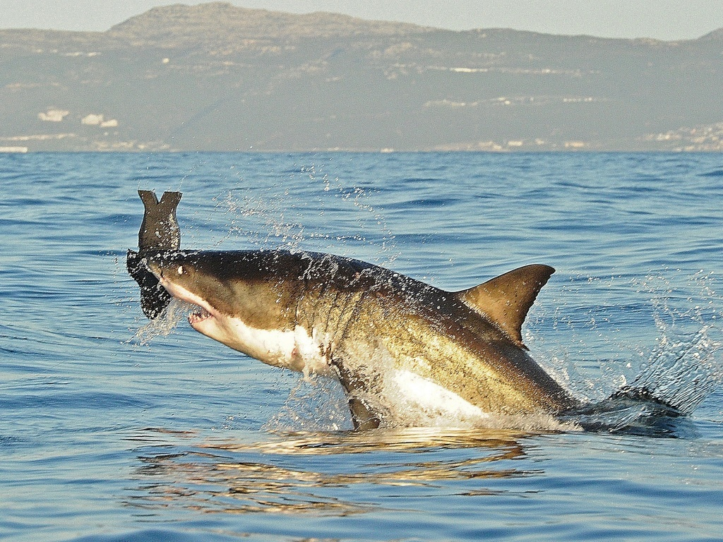 FILE PHOTO: A great white shark breaches the surface in July 2010 as it attacks a decoy seal off the coast of South Africa.
