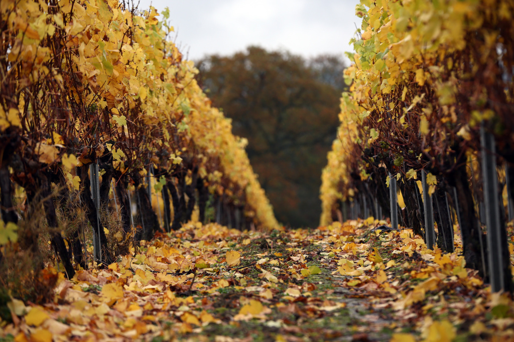 Colored leaves drop to the crown by the vines after harvesting the grapes in autumn at Ridgeview Vineyard on November 4, 2015 in Ditchling, England.
