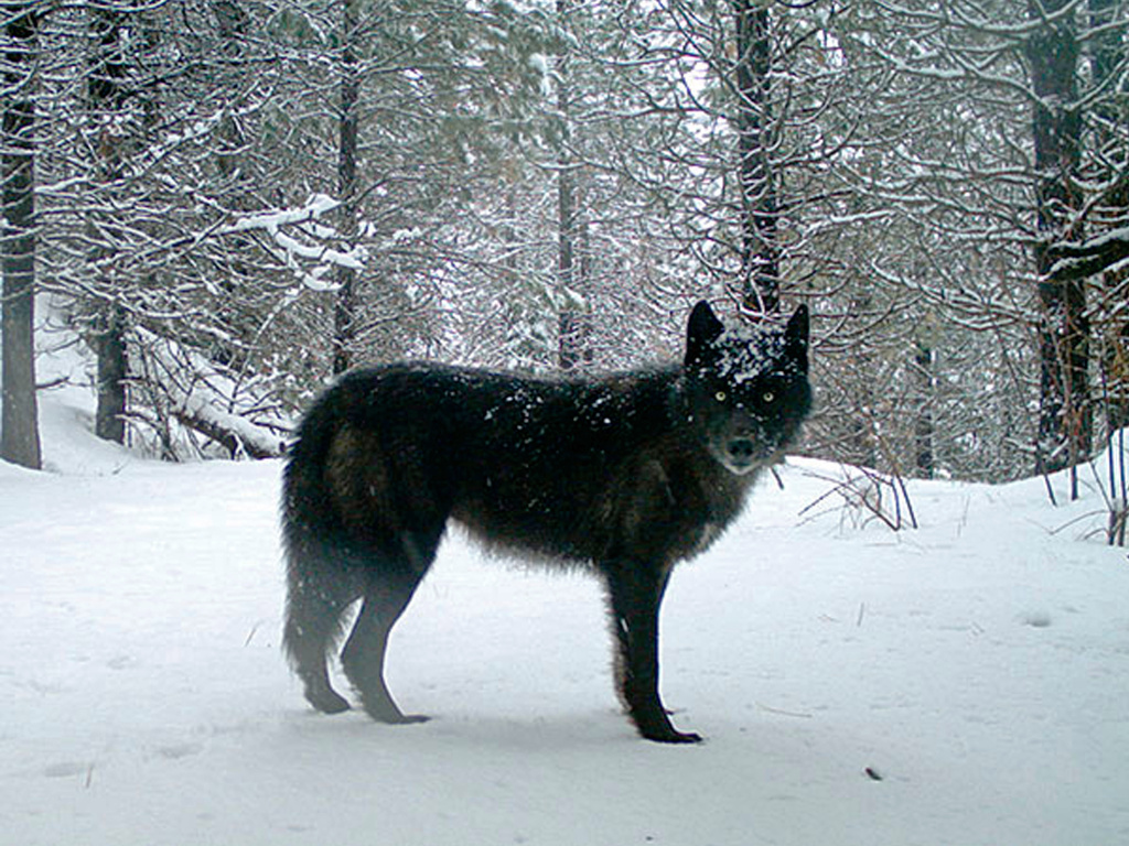 A gray wolf is captured by a remote camera on U.S. Forest Service land in Oregon in 2017.
