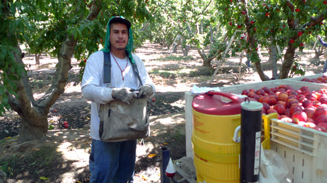 Farmworker Eduardo Amezcua stands next to a water cooler after picking nectarine at HMC Farms outside of Selma.