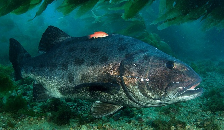 An adult giant sea bass, which weigh at least 580 pounds. UCSB marine biologist Milton Love says some of his colleagues report seeing one off Catalina up to 9 feet long.