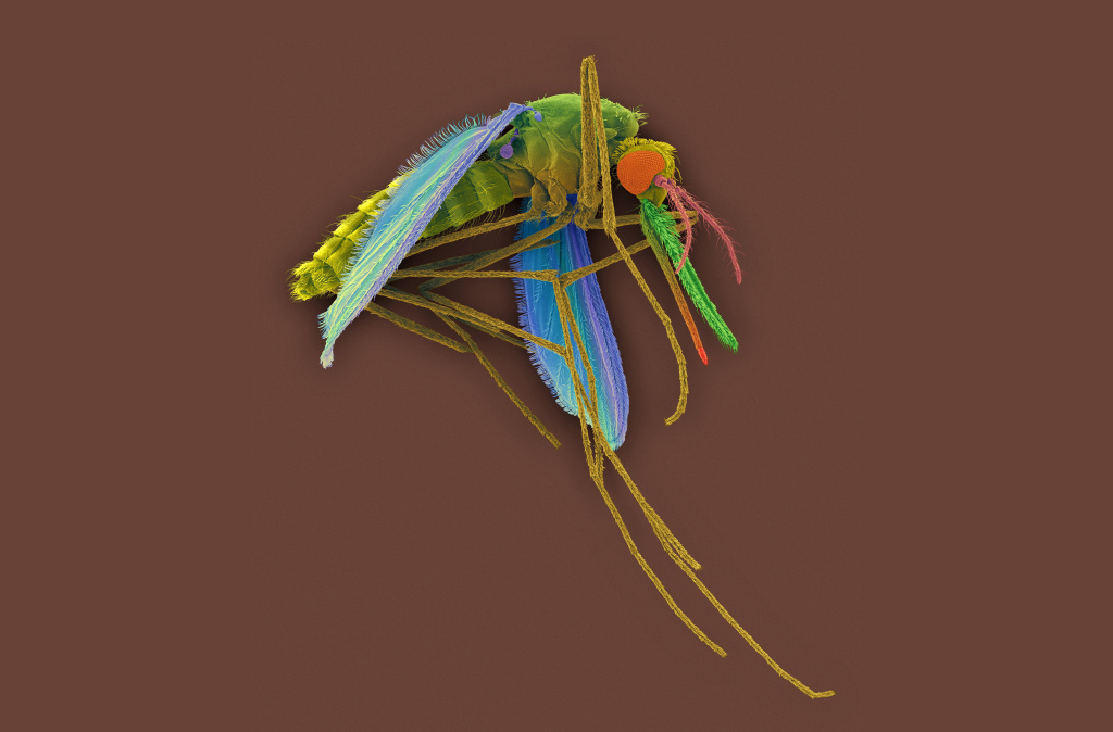 A colored scanning electron micrograph of a female Anopheles mosquito, a vector for the malaria parasite <em>Plasmodium vivax</em>.