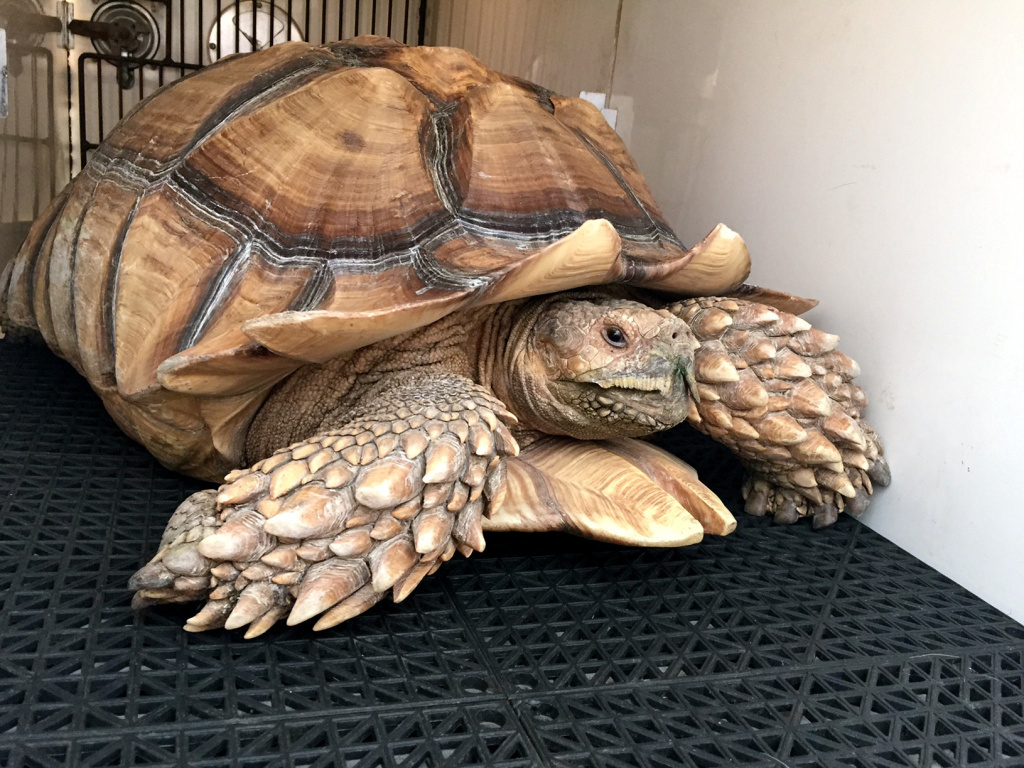 Tank, a pet 75-pound tortoise, survived the Los Angeles Sand Fire after his owner were forced to leave him behind.