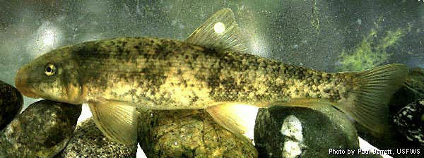 Santa Ana Sucker, Catostomus santaanae, Paul Barrett, USFWS