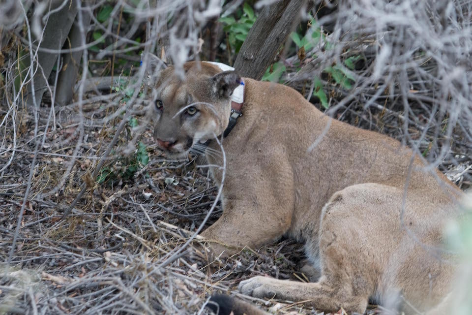 Mountain lion P-12 has fathered eight documented litters of kittens, as of October 2015.