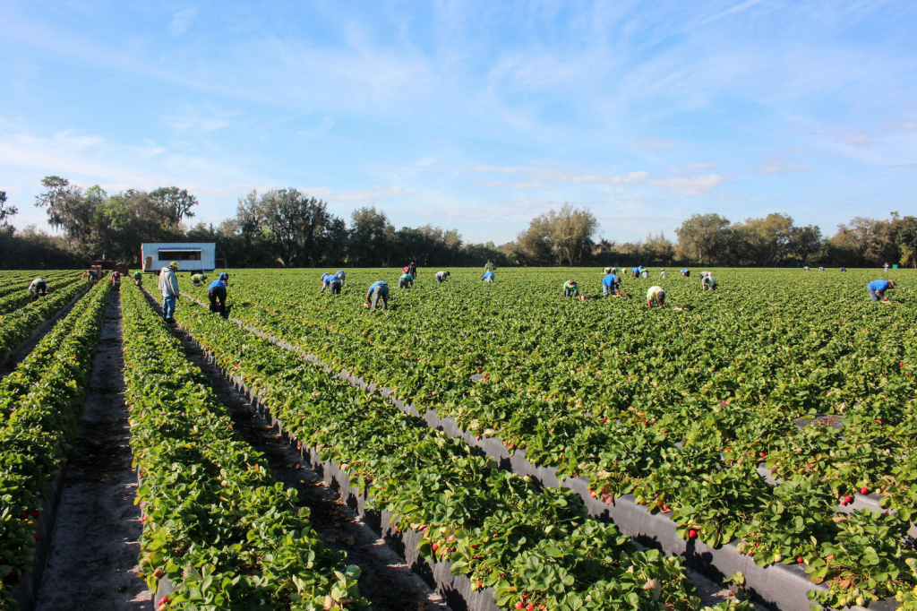 These workers are harvesting strawberries for Fancy Farms, near Plant City, Florida.