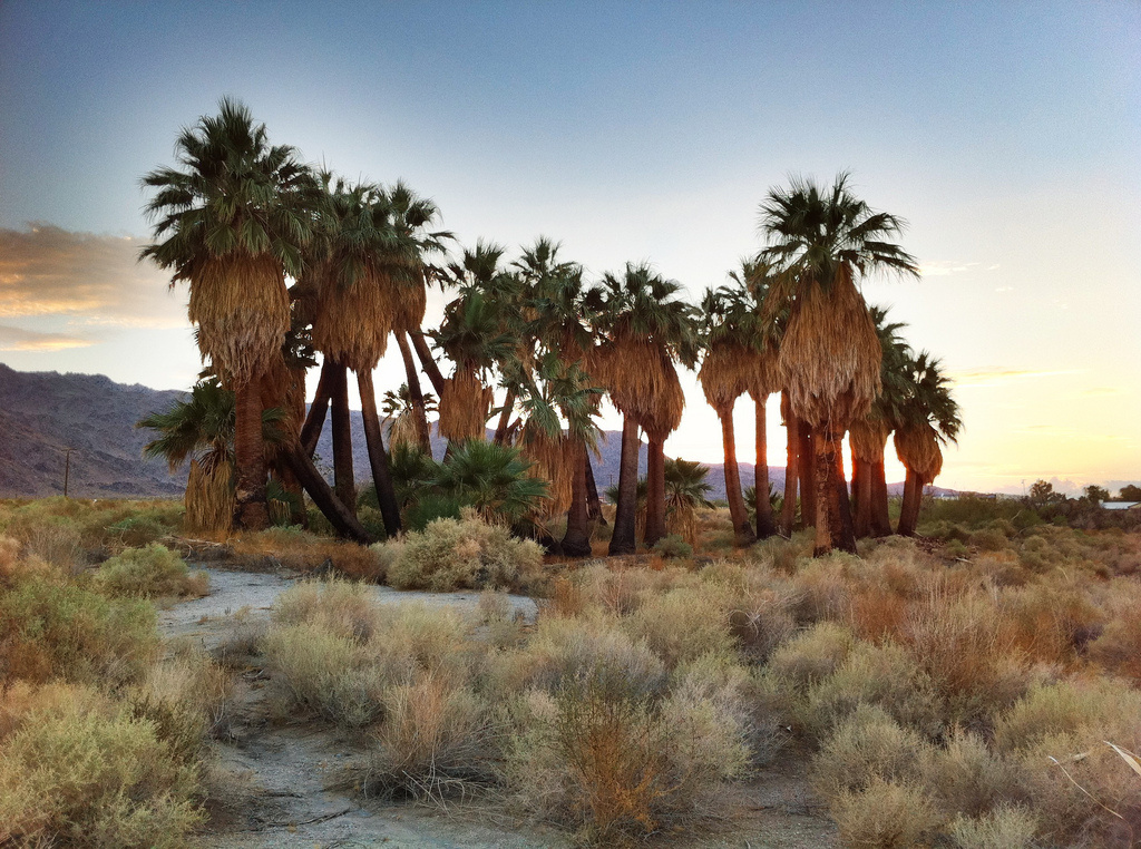Oasis of Mara, a site settled by Native Americans who planted the 29 palm trees, was damaged in a fire that broke out late Monday, March 26, 2018, according to the National Park Service.