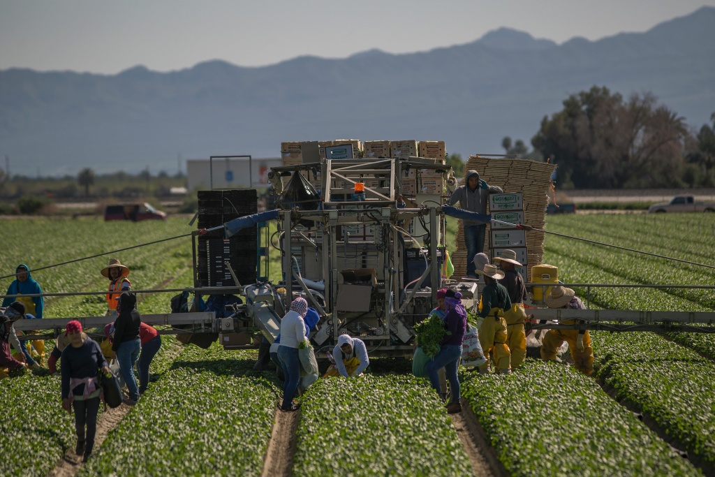 Immigrant farm workers harvest a spinach field on February 24, 2017 near Coachella, California.