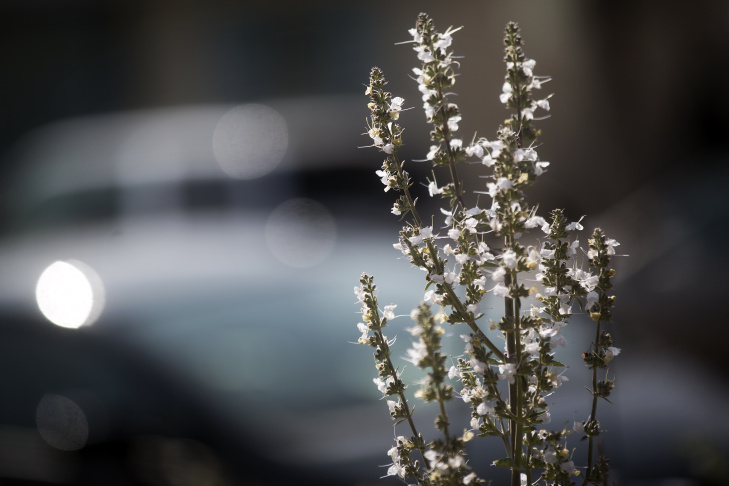 Slideshow the 13 best calif native drought tolerant plants for white sage important native american ceremonial plant flower stalks are tall mightylinksfo