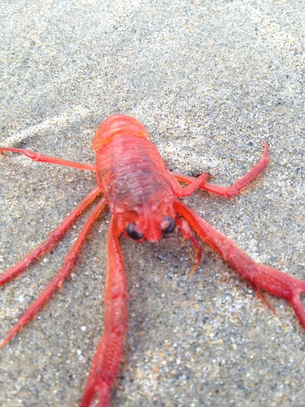 Tuna crabs have washed up on southern California shores over 50 years.