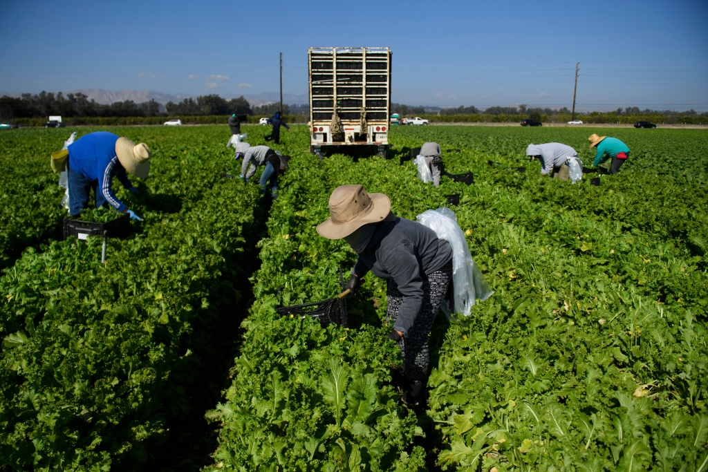 Farmworkers wear face masks while harvesting curly mustard in a field on February 10, 2021 in Ventura County, California.