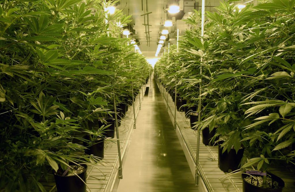 Marijuana plants are grown at Essence Vegas' 54,000-square-foot marijuana cultivation facility on July 6, 2017 in Las Vegas, Nevada. On July 1, Nevada joined seven other states allowing recreational marijuana use and became the first of four states that voted to legalize recreational sales in November's election to allow dispensaries to sell cannabis for recreational use to anyone over 21.