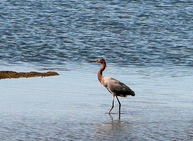 Obama: The elegantly plumed Reddish Egret, photographed at Bolsa Chica Ecological Reserve, is noted for its dancing maneuvers when searching for food.